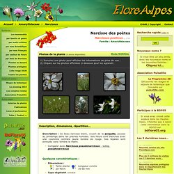 Narcissus poeticus L., 1753 / Narcisse des poètes / Amaryllidaceae - Fiche détaillée Fleurs des Hautes-Alpes