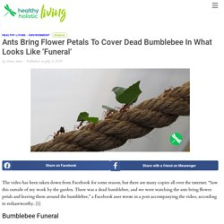 Ants Bring Flower Petals To Cover Dead Bumblebee In What Looks Like 'Funeral'