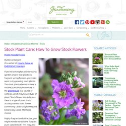 Stock Flower Info – Caring For Stock Plants In The Garden