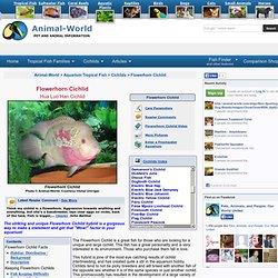 Flowerhorn Cichlid, Hua Luo Han Cichlid Fish Guide