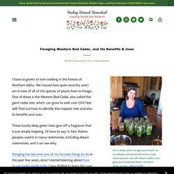 Foraging Western Red Cedar, and Its Benefits & Uses — Home Healing Harvest Homestead