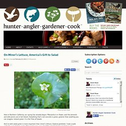 Foraging for Miner's Lettuce, a World-Class Salad Green