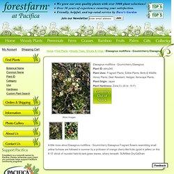 Elaeagnus multiflora - Goumi/cherry Elaeagnus ForestFarm