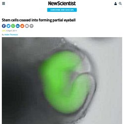 Stem cells coaxed into forming partial eyeball - life - 06 April 2011