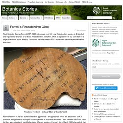 Forrest's Rhododendron Giant – Botanics Stories