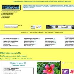 Foulsapate marron ou Mahot bâtard Flore endémique Réunion et Maurice.
