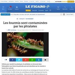 Environnement : Les fourmis sont contaminées par les phtalates