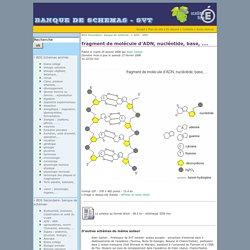 fragment de molécule d'ADN, nucléotide, base, ....