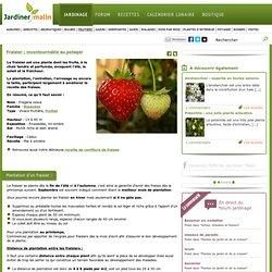 Fraisier : plantation, culture et entretien des fraises