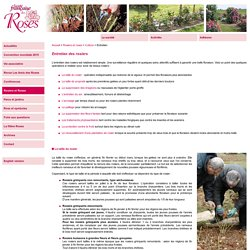 Société Française des Roses - L'entretien du rosier est simple : taille, suppression des drageons et des fleurs fannées, entretien du sol…