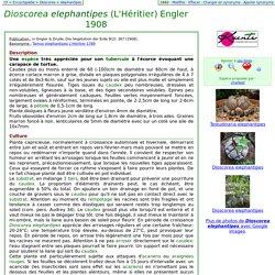 Au Cactus Francophone : Fiche de : Dioscorea elephantipes (L'Héritier) Engler 1908
