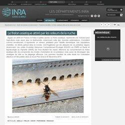 INRA 04/03/15 Le frelon asiatique attiré par les odeurs de la ruche