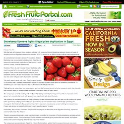FRESH FRUIT PORTAL 21/02/13 Strawberry licensee fights illegal plant duplication in Egypt