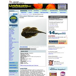 Reticulated Hillstream Loach, Sewellia lineolata