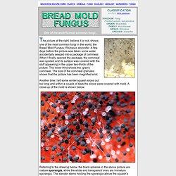 Bread mold fungus, Rhizopus stolonifer