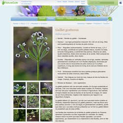 Gaillet gratteron, Galium aparine - Fleurs