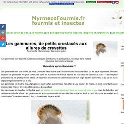 Les gammares, de petits crustacés aux allures de (...)