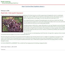 Shade Gardening: Purple Oxalis -- Oxalis regnellii 'Atropurpurea'