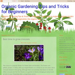 Organic Gardening Tips and Tricks for Beginners: Best time to grow crocuses