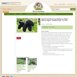 "Hirt's Gardens Dwarf Everbearing Mulberry Plant - Morus nigra - Sweet Fruit - 4"" Pot : Fruit & Berry Plants"