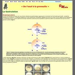 Gastrulation Xénope