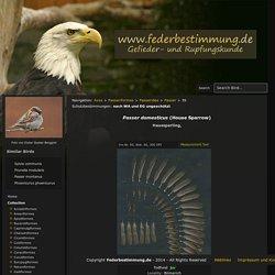 Passer domesticus (House Sparrow) - Vogelfedern und Gefiederkunde - Federbestimmung.de