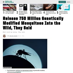 Genetically Modified Mosquitoes: Florida Releasing GMO Mosquitoes