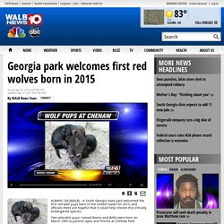 Georgia park welcomes first red wolves born in 2015 - WALB.com, South Georgia News, Weather, Sports