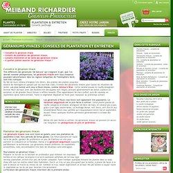 Géraniums vivaces : conseils de plantation et entretien