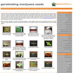 germinating marijuana seeds picture gallery