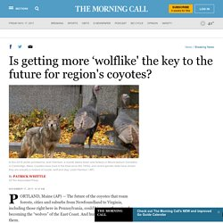 Is getting more 'wolflike' the key to the future for region's coyotes?
