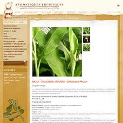 Plant de gingembre japonais mioga (zingiber mioga)