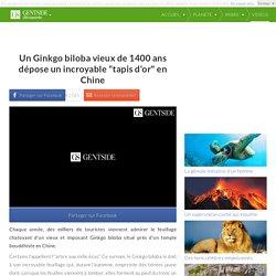 """Un Ginkgo biloba vieux de 1400 ans dépose un incroyable """"tapis d'or"""" en Chine"""