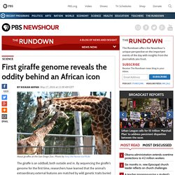 First giraffe genome reveals the oddity behind an African icon