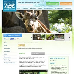 Giraffe - Philadelphia Zoo