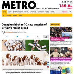 Dog gives birth to 10 new puppies of Britain's rarest breed