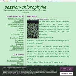 Pilea glauca - passion-chlorophylle