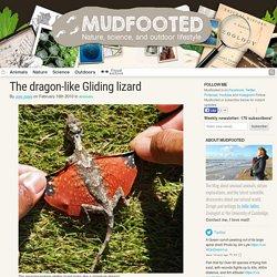 The gliding lizard that looks like a miniature dragon