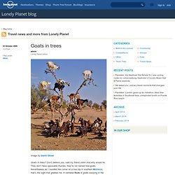 Goats in trees - Lonely Planet blog