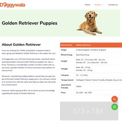 Golden Retriever Puppies for Sale in Pune
