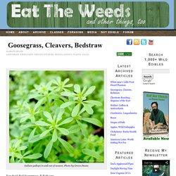 Goosegrass, Cleavers, Bedstraw
