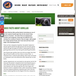 Basic Facts About Gorillas