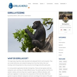 Gorilla Feeding - Gorilla Facts and Information