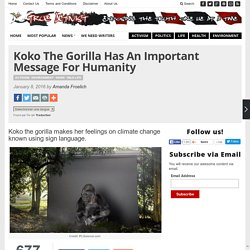 Koko The Gorilla Has An Important Message For Humanity