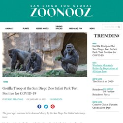 Gorilla Troop at the San Diego Zoo Safari Park Test Positive for COVID-19 – ZOONOOZ