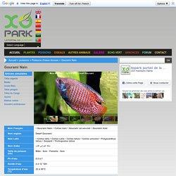 Gourami Nain - xopark.comxopark.com