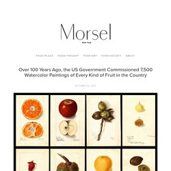 Over 100 Years Ago, the US Government Commissioned 7,500 Watercolor Paintings of Every Kind of Fruit in the Country — Morsel NEW YORK