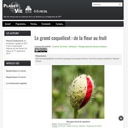 Le grand coquelicot : de la fleur au fruit