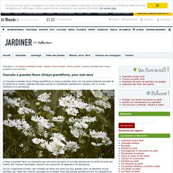 Caucalis à grandes fleurs (Orlaya grandiflora), pour sols secs : plantation, entretien