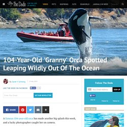 104-Year-Old 'Granny' Orca Spotted Leaping Wildly Out Of The Ocean